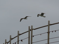 IMG_8745 (jesust793) Tags: gaviotas gulls seagulls milenio pájaros birds