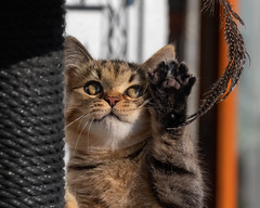 The mighty paw (FocusPocus Photography) Tags: leo katze kater cat kitten pfote paw feder feather spielzeug toy