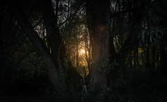 Sun tree (www.altglas-container.de) Tags: duisburg baum tree forest sonnenuntergang sundown sunlight rheinhausen wald natur nature
