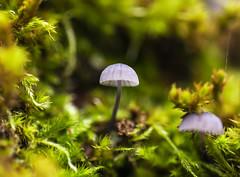 _MG_4298 (Laurent Jégou) Tags: macro champignons