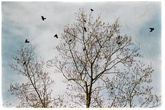 Starlings in tulip poplar. (jeanne.marie.) Tags: autumn fall trees nature tulippoplar starlings redwingedblackbird clouds cloudy creek
