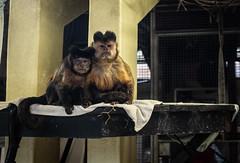 Sweet duo :) (Earthman.) Tags: monkey monkeyworld longthorns wareham dorset earthman x100t fuji zoo sweetcouple