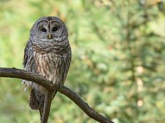 Barred Owl (strix varia) (aj4095) Tags: barred owl nature wildlife outdoor autumn fall november nikon ontario canada bird