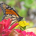 one of the last Monarchs through ...