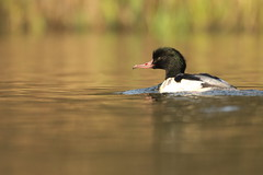 Goosander (jamiemcd17) Tags: goosander wild wildlife duck nature pond bird nikon