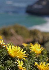 Cape Point Snake Thistle (peterkelly) Tags: digital canon 6d africa intrepidtravel capetowntovicfalls southafrica capepeninsula tablemountainnationalpark capeofgoodhope capepoint snakethistle cullumiasquarrosa yellow green flowers flower