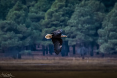 It's Veteran's Day...thank you to all who served!  Bald Eagle at Lake Mary, Flagstaff, Arizona (Daren Grilley) Tags: eagle bird birds prey raptor flagstaff arizona az flight bif nikon d500 200500 veterans day