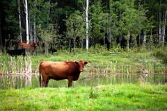 Posing Beef (Bracus Triticum) Tags: posing beef cattle animal アルバータ州 alberta canada カナダ 8月 八月 葉月 hachigatsu hazuki leafmonth 2019 reiwa summer august