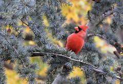 ~Mr. Redbird In Autumn~ (RitaK.) Tags: bird birding wildbird nature nikon redbird northerncardinal autumn tree northerncardinalmale birdwatching songbird ngc