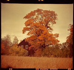 Day before stripping all leaves (cotnari73) Tags: 6x6 boxcamera pajtás kodakportra c41 tetenal