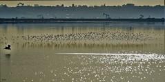 Marine Layers II (beachpeepsrus) Tags: bolsachicawildlifereserve huntingtonbeachcalifornia heron water westcoast waders migration flight fog sky sihlouette birds