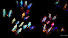 If you can't fly high fly free (Peter Jaspers) Tags: frompeterj© 2019 olympus omd em10 1240mm28 leiden holland butterfly butterflies hss sliderssunday museum naturalisbiodiversitycenter naturalis 169 widescreen