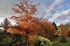 The Season Of Fire (Deepgreen2009) Tags: autumn colours trees beech cherry acer garden home vivid copper leaves foliage