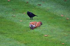 ...And Stretch. (Deepgreen2009) Tags: crow fox vixen wildlife garden lawn home close stretch animal bird