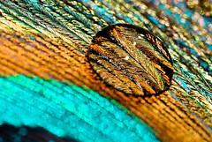 Magnifier (VintageLensLover) Tags: hmm reflections spiegelungen pfauenfeder makroaufnahme macro tropfen droplet colourful nahaufnahme magnifier lupe federn details macromondays