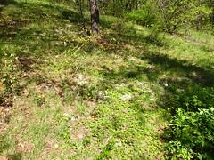 Shale woodland with Potentilla canadensis and Lithospermum canescens (Pete&NoeWoods) Tags: pineycreekwoodland bedfordcountypennsylvania f19woo13 shalebarren shalewoodland naturalcommunity