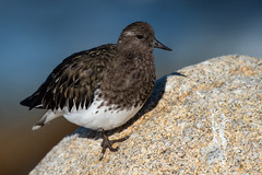 Black Turnstone, Arenaria melanocephala (Vigors, 1829) (Misenus1) Tags: pacificgroveca california pointpinos animalia chordata aves charadriiformes scolopacidae arenariamelanocephala taxonomy:kingdom=animalia taxonomy:phylum=chordata taxonomy:class=aves taxonomy:order=charadriiformes taxonomy:family=scolopacidae taxonomy:binomial=arenariamelanocephala