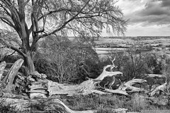 The fallen (EVERY SO OFTEN) Tags: trees trunk bw outdoors texture contrast landscape sonya6300 sigma30mmf28 dramatic black white monochrome nature november view hills chilterns ashridge fallen felled