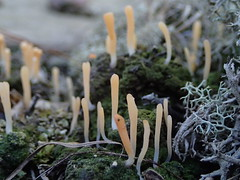 Multiclavula vernalis_spring club lichen_3 (Pete&NoeWoods) Tags: multiclavulalucida springclublichen lichen fungus buchanonstateforest bedfordcountypennsylvania xericrow