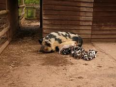 Mother of sextuplets (Nigel Crooks) Tags: pig piglets torre farm