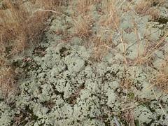 lichen barren (Pete&NoeWoods) Tags: f19woo01 mcalevysfort huntingdoncountypennsylvania lichen lichenbarren row