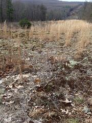 lichen barren, with Cetraria arenaria in foreground (Pete&NoeWoods) Tags: f19woo01 mcalevysfort huntingdoncountypennsylvania llichen lichenbarren cetrariaarenaria row