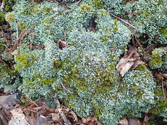 sterile Cladonia sp_Highsaw tract_B3 (Pete&NoeWoods) Tags: f19woo14 highsawtract bedfordcountypennsylvania lichen cladonia sterilecladonia