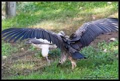 20191024_15_16_209_GF (orlando m photographie) Tags: zoologique zoo zoodelabarben labarben vautour