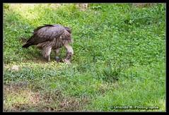 20191024_15_15_189_GF (orlando m photographie) Tags: zoologique zoo zoodelabarben labarben vautour