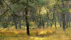 Herbst (Silkes Sicht der Dinge) Tags: herbst sonne bäume wald gelb autumn sun trees forest yellow