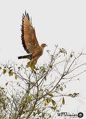 Gavião-caboclo (Heterospizias meridionalis)_5162 FF (Wptjunior) Tags: fotografia foto fauna wptjunior bird birdingwatching brasil bahia aves ave animais photograph photo nikon natureza nature