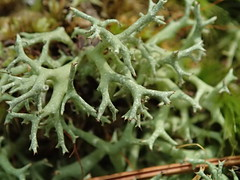 Cladonia uncialis_thorn lichen_Highsaw tract_2 (Pete&NoeWoods) Tags: f19woo14 highsawtract bedfordcountypennsylvania lichen cladonia cladoniauncialis thornlichen
