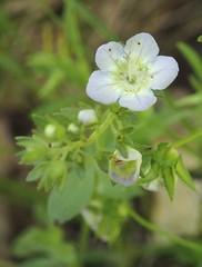 Phacelia dubia, smallflower Phacelia (Pete&NoeWoods) Tags: f19woo14 highsawtract bedfordcountypennsylvania phaceliadubia smallflowerphacelia plant watchlist