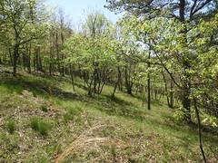 shale woodland_Highsaw tract_2 (Pete&NoeWoods) Tags: f19woo14 highsawtract bedfordcountypennsylvania shalewoodland naturalcommunity xeric woodland