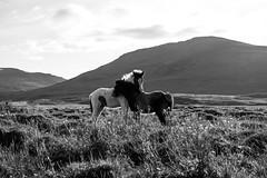 horses (skarhenrik) Tags: fujifilm xh1 blackandwhite xf35mmf2 love landscape horse