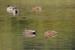 Gadwalls (zbackkcabz) Tags: gadwall beautiful bird birds nature naturewatcher scene wildbird wildlife cool country cute outdoor pond awesome amazing animal