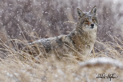 Coyote Glances My Way In Fluffy Snow (dcstep) Tags: colorado cherrycreekstatepark copyright2019davidcstephens coyote westerncoyote snow snowing hunting allrightsreserved usa sonya9 fe400mmf28gmoss handheld grass prairiegrass tallgrass alert dsc6037dxo glancing glance