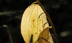 Veins (Elisa1880) Tags: veins nerven blad leaf herfst autumn de haag the hague solleveld nederland netherlands