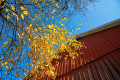 Looking up (Millie Cruz (On and Off)) Tags: barn red sky blue leaves yellow golden outdoors tree limbs branches stoeversdampark lebanonpennsylvania ef24105mmf4lisusm canoneos5dmarkiii