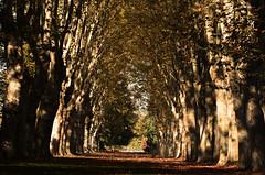 Parc de Schoppenwihr (Philippe Haumesser (+ 8000 000 view)) Tags: arbres trees allée alley automne autumn feuilles leaves schoppenwihr alsace elsass hautrhin 68 france nikond7000 nikon d7000 reflex 2019 llva
