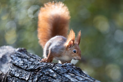 Bushy tail (Joachim Dobler) Tags: eichhörnchen eichhoernchen squirrel écureuil ardilla scoiattolo equito nature natur nagetier wildlife animal cute naturephotography squirrellove wildlifephotography bestsquirrel nutsaboutsquirrels cuteanimals