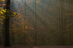 The bewitched forest (1): woken by light (Gutnix) Tags: nature forest outside dusk autumn trees light leaves countryside shadows pentax wuppertal wald dasnöckel