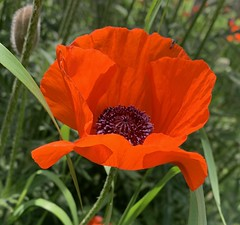 Lest we forget (remiklitsch) Tags: remembranceday flower flandersfield freedom grateful thankful remember veteransday red poppy