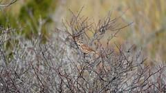 Melospiza Melodia (AVNativePlants) Tags: song sparrow beach habitat nature bird wildlife pose dead tree branches american