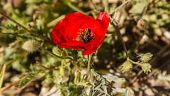We Will Remember Them (Lawrence OP) Tags: poppy lestweforget armistice day remembrance
