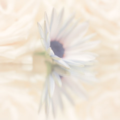 Reflections (paulapics2) Tags: macromonday reflection mirror depthoffield africandaisy osteospermum nature roses