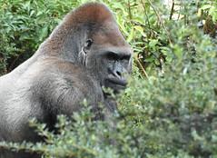 Gorilla - Zoo Amneville (Mandenno photography) Tags: animal animals dierenpark dierentuin dieren zoo zooamneville amneville nature natgeo natgeographic discovery animalplanet wildlife gorilla