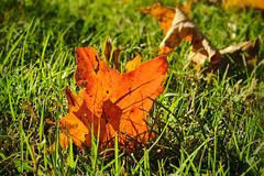Autumn Vibrance (Modkuse) Tags: velvia vividcolor fujivelvia fujifilmxt2velvia fujifilmxt2velviasimulation colorful colors brightcolors bright nature naturel natureart photoart art artphotography artistic artisticphotography vibrantcolor vibrant fujifilm fujifilmxt2 xt2 fujinon fujinonxf1855mmf284rlmois xf1855mmf284rlmois autumn autumnleaves fall fallcolors fallcolor