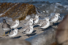 Sanderlings, Calidris alba Pallas, 1764 (Misenus1) Tags: pacificgroveca california pointpinos animalia chordata aves birds charadriiformes scolopacidae calidrisalba taxonomy:kingdom=animalia taxonomy:phylum=chordata taxonomy:class=aves taxonomy:order=charadriiformes taxonomy:family=scolopacidae taxonomy:binomial=calidrisalba