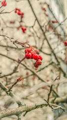 October (camelopardalisi) Tags: nature digitalphotography trees berries rowan autumn sony sonyslt